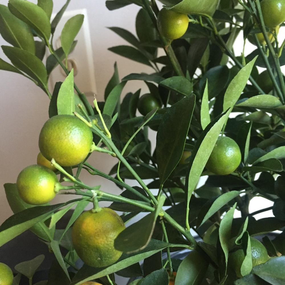 mini orange tree